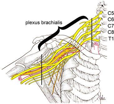 Брахиален плексус